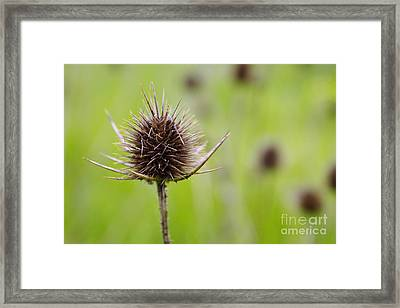 Dried Thistle Framed Print by Carlos Caetano