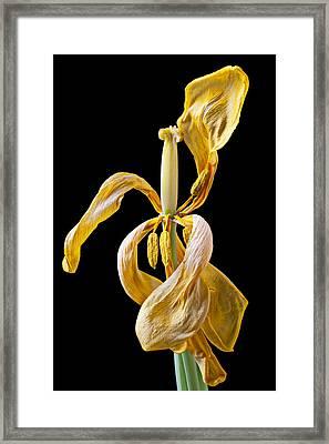Dried Tulip Framed Print