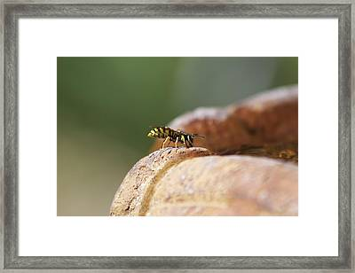 Drinking Bee Framed Print by Michel DesRoches