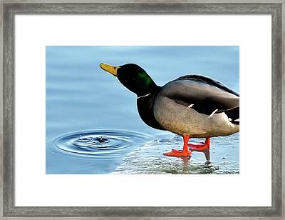Drinking Duck Framed Print