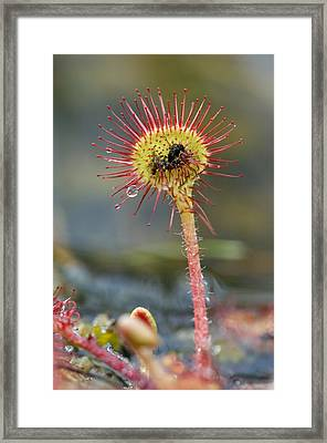 Drosera Rotundifolia Digesting An Insect Framed Print by Duncan Shaw
