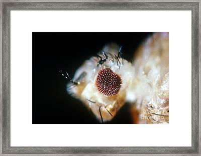 Drosophila, Eyeless Mutation Framed Print by Science Source