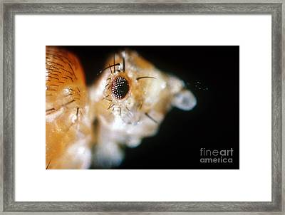 Drosophila, Lobe Mutation Framed Print by Science Source