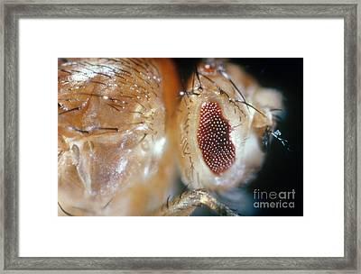 Drosophila Mutant With Bar Eyes Framed Print by Science Source