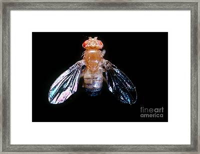 Drosophila With Dichaete Wings Framed Print