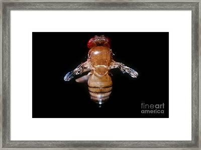 Drosophila With Vestigial Wings Framed Print by Science Source