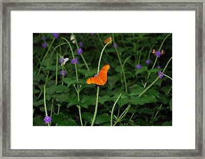 Dryas Iulia  Butterfly Framed Print by Kim French
