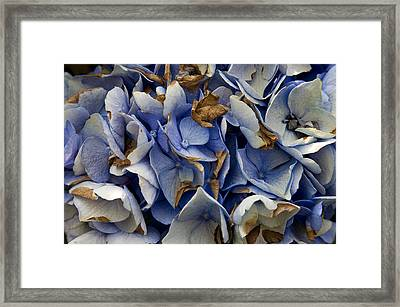 Framed Print featuring the photograph Drying Hydrangea by Michael Friedman