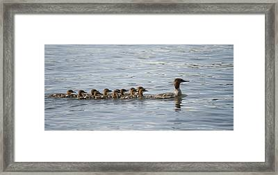 Duck And Ducklings Swimming In A Row Framed Print by Keith Levit
