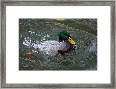 Duck Bathing Series 1 Framed Print by Craig Hosterman