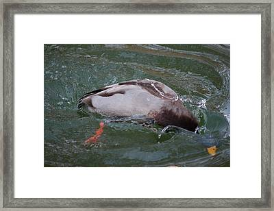 Duck Bathing Series 2 Framed Print by Craig Hosterman