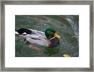 Duck Bathing Series 3 Framed Print by Craig Hosterman