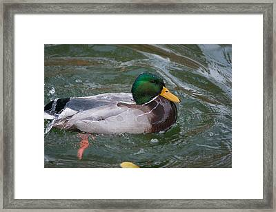 Duck Bathing Series 4 Framed Print by Craig Hosterman