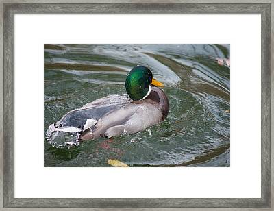 Duck Bathing Series 5 Framed Print by Craig Hosterman