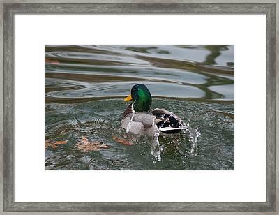 Duck Bathing Series 6 Framed Print by Craig Hosterman