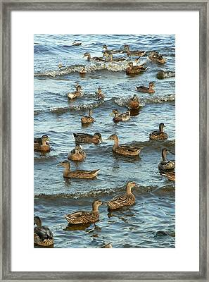 Duck Convention Framed Print by Seiko Ti