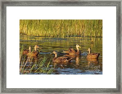 Duck Fart  Framed Print