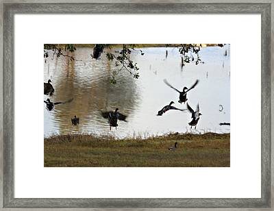 Duck Frenzy Framed Print by Douglas Barnard