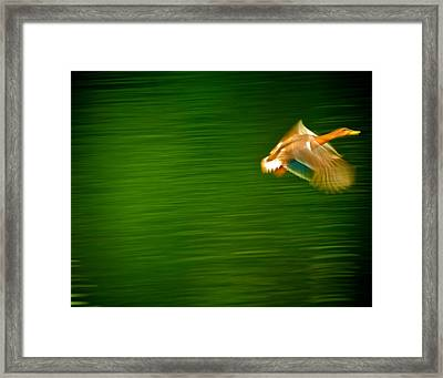 Duck In Motion Framed Print by Andre Faubert