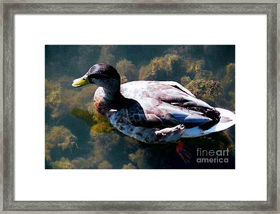 Duck In Transparent Water Framed Print by Judy Via-Wolff