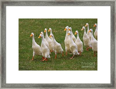 Duck March Framed Print
