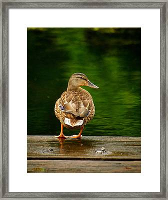 Duck On Dock Framed Print by Andre Faubert
