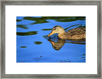 Duck Reflects Framed Print by Karol Livote