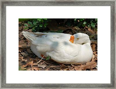 Framed Print featuring the photograph Duck Resting by Fotosas Photography