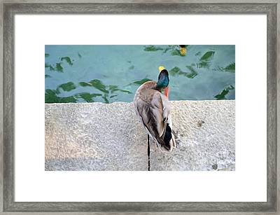 Duck Scratching Framed Print