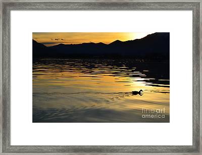 Duck Swimming Framed Print
