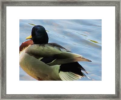 Duck Framed Print by Todd Sherlock