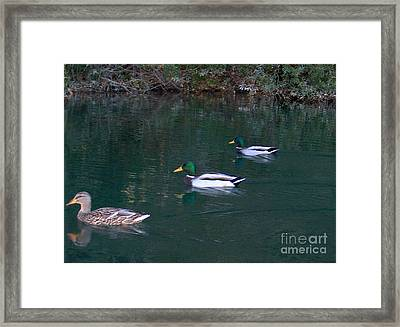 Ducks In A Line  Framed Print by The Kepharts