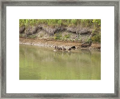 Ducks In A Row Framed Print by Corinne Elizabeth Cowherd