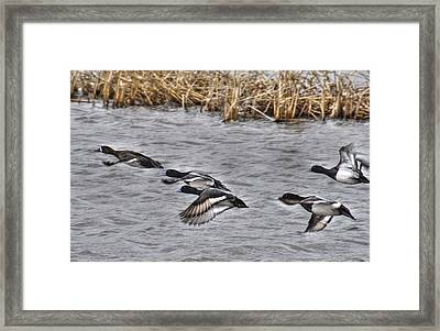 Ducks In Flight Framed Print by Janice Adomeit