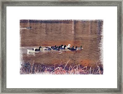 Ducks On Canvas Framed Print by Douglas Barnard