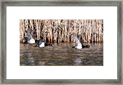Ducks - Ring Neck - Hold Up Framed Print by Travis Truelove