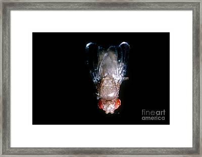 Dumpy Winged Drosophila Framed Print by Science Source