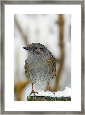Dunnock Perched On A Garden Fence Framed Print by Duncan Shaw
