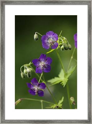 Dusky Cranesbill (geranium Phaeum) Framed Print