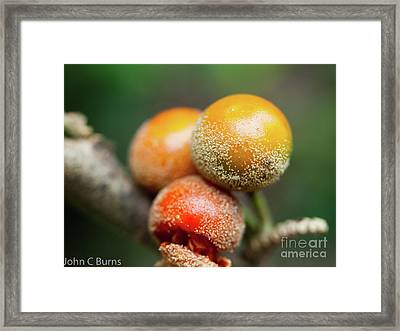 Framed Print featuring the photograph Dusted Berries by John Burns