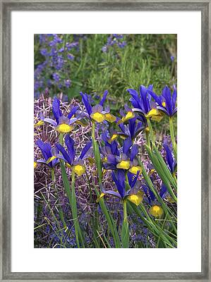 Dutch Iris (iris Xiphium) Framed Print by Colin Varndell