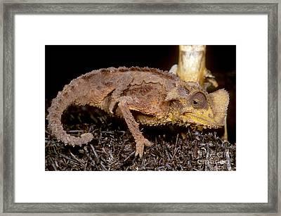 Dwarf Chameleon Framed Print by Dante Fenolio