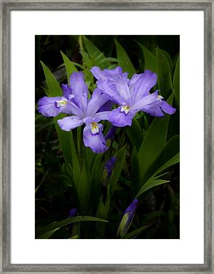 Dwarf Crested Iris Framed Print by Rob Travis