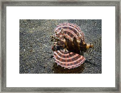 Dwarf Lionfish On The Seabed Framed Print by Georgette Douwma