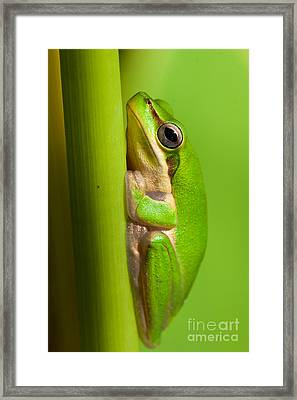 Dwarf Tree Frog Framed Print by Johan Larson