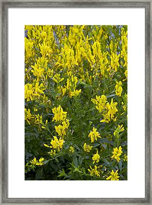 Dyer's Greenweed (genista Tinctoria) Framed Print by Bob Gibbons