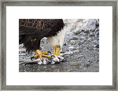 Eagle And His Catch Framed Print by Tracey Hunnewell