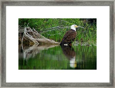 Eagle At Rest Framed Print