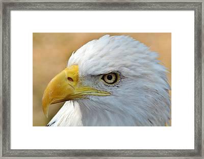 Eagle Eye 2 Framed Print by Alexander Spahn