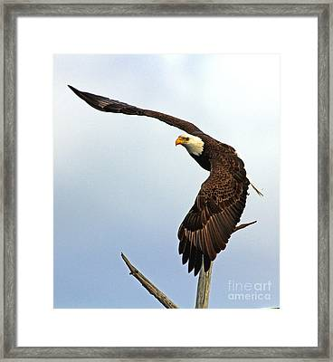 Framed Print featuring the photograph Eagle Flight-wing Power by Larry Nieland
